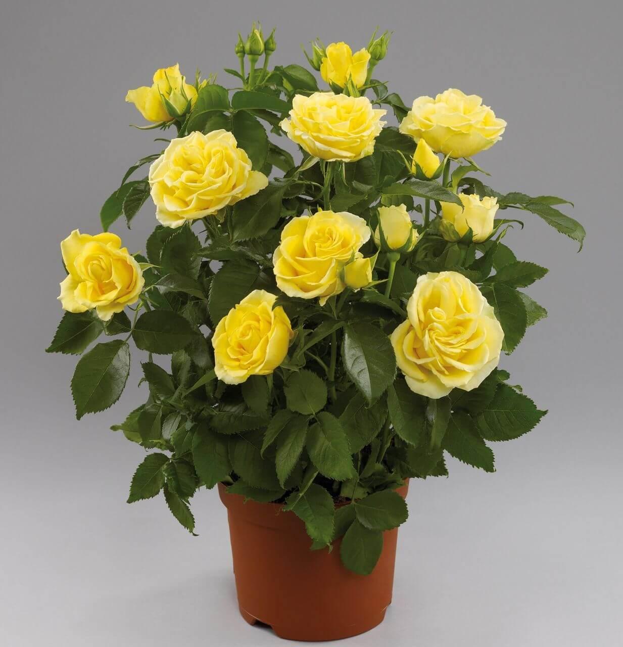 комнатные цветы розы фото рамочку