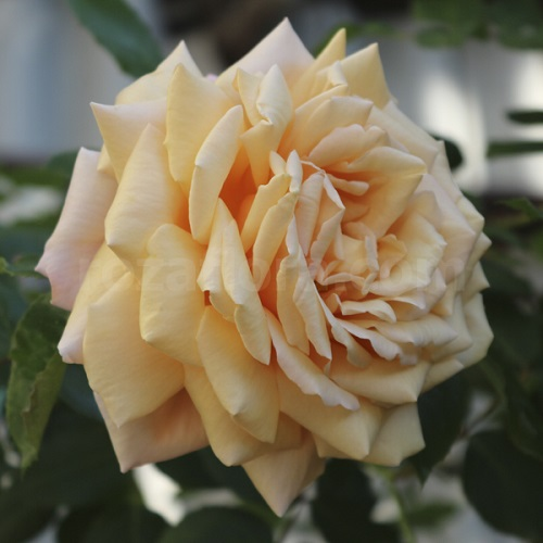 основном крымское солнышко роза фото тогда обновка